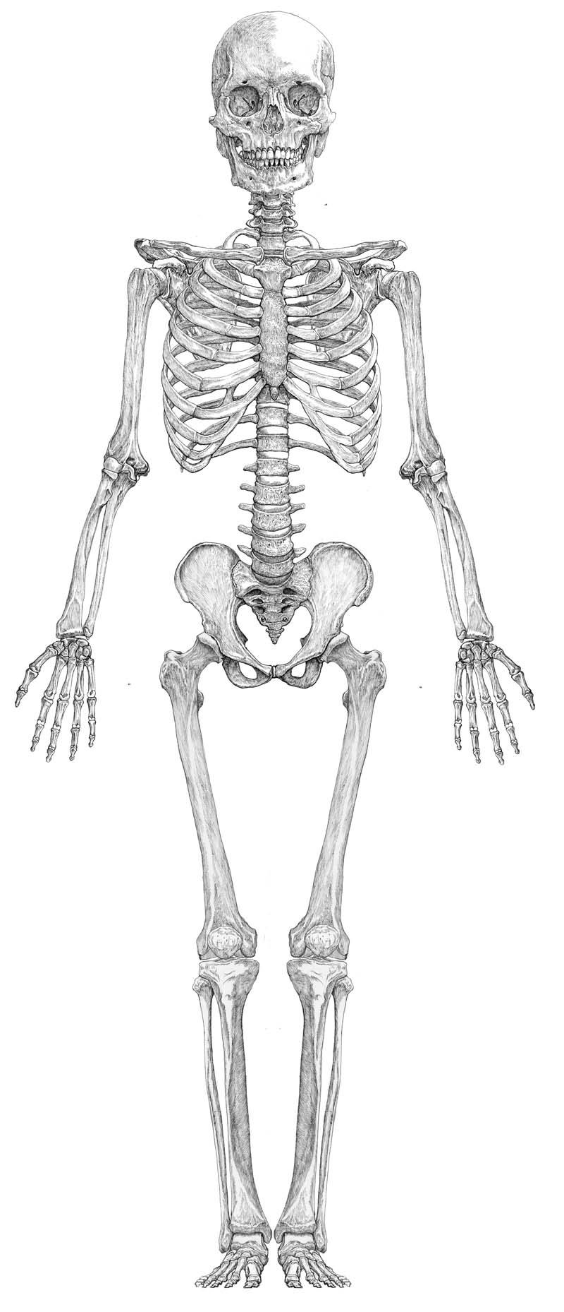 人体骨格図正面