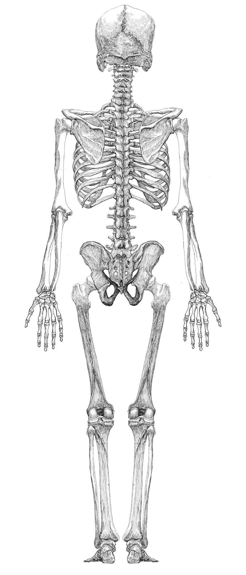 人体骨格図背面