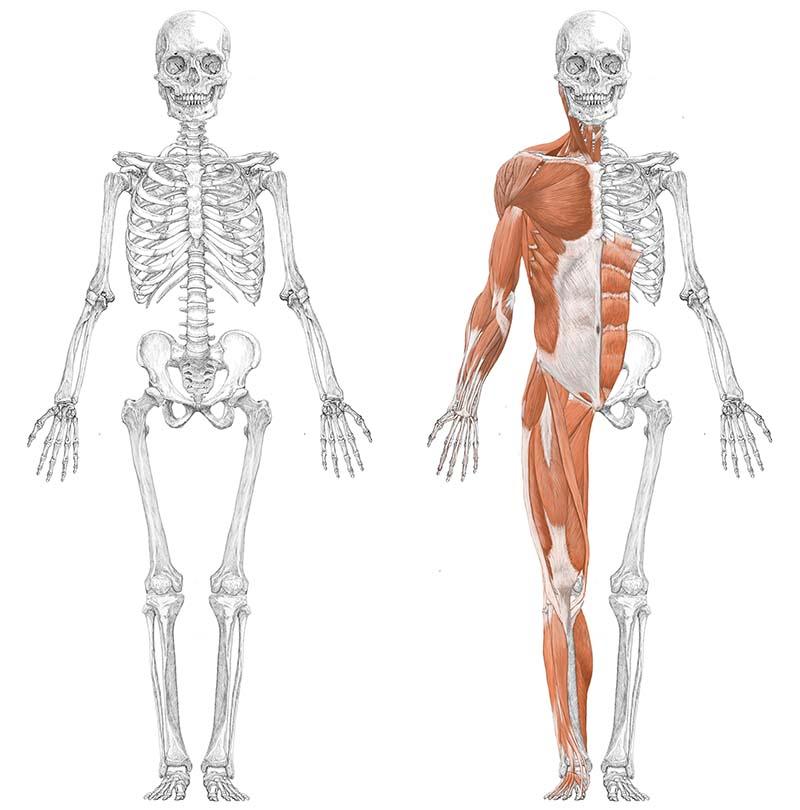 人体筋肉図正面スライド ver.2.0