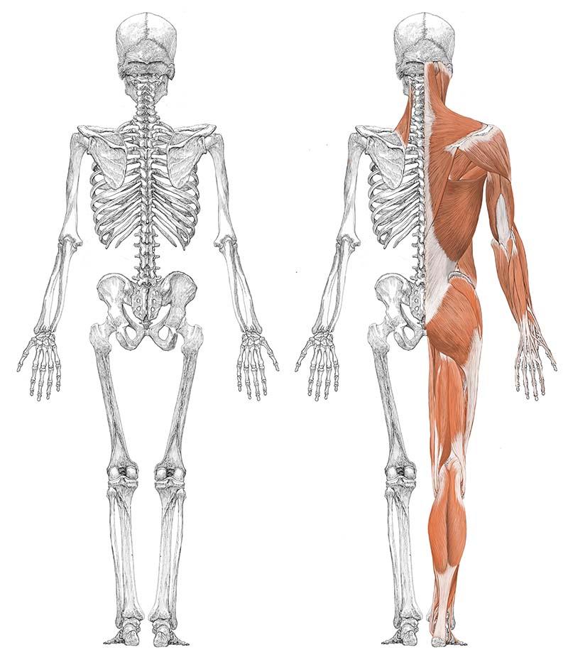 人体筋肉図背面スライド