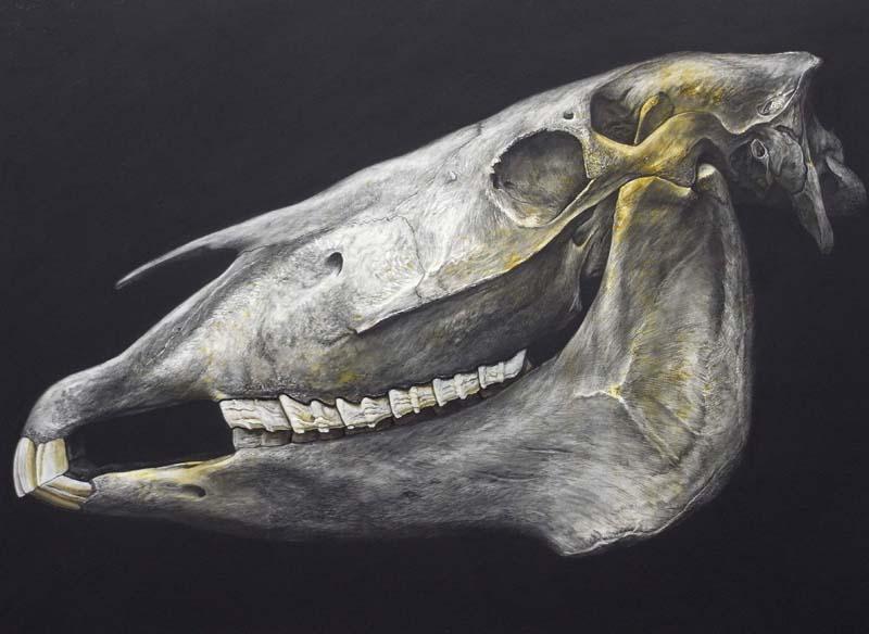 Mare skull