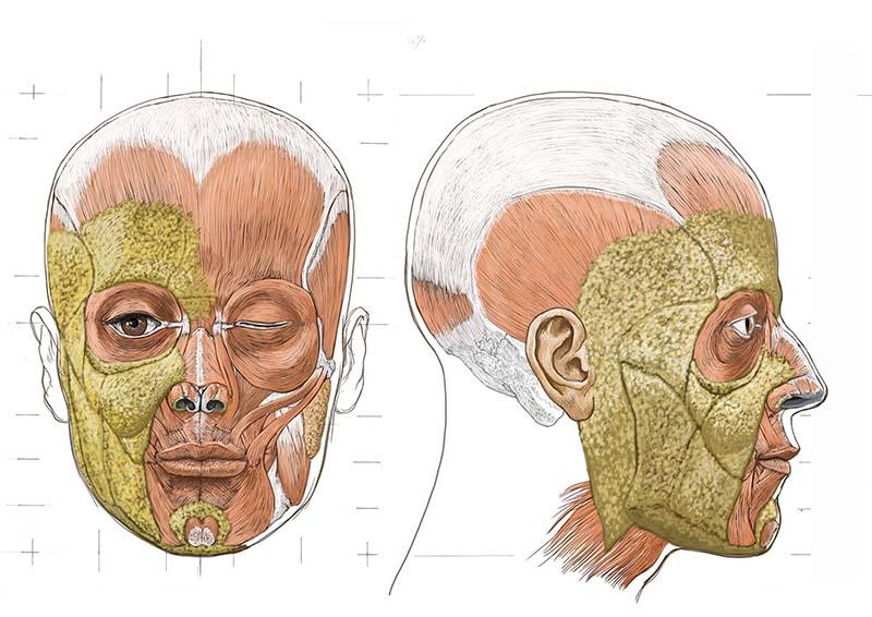 頭部の筋肉図スライド