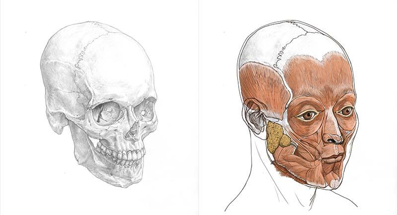 頭部の筋肉図スライド(斜めから)
