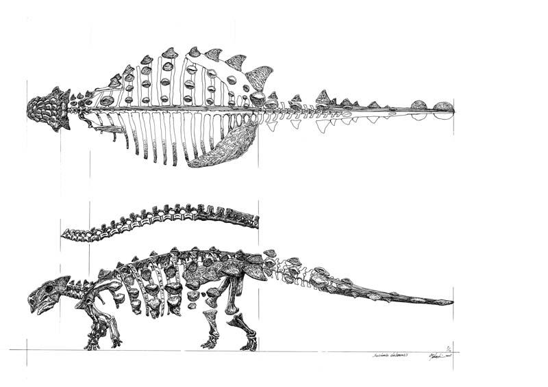 Saicania chulsanensis skeleton