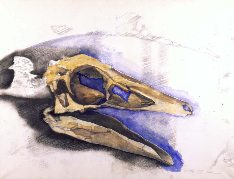 Garudimimusの頭骨