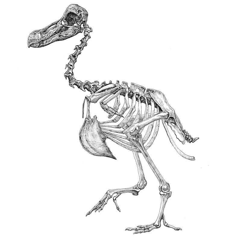 Raphus cucullatus skeleton
