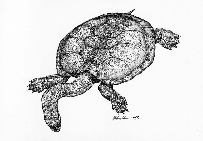 アラリペミス Araripemys barretoi