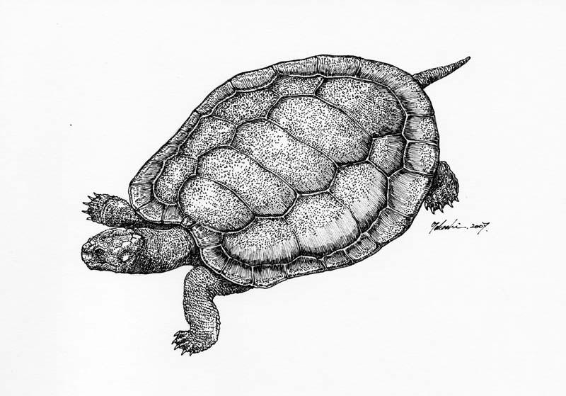 モンゴロケリス Mongolochelys efremovi