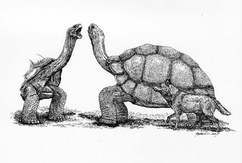アトラスゾウガメ Megalochelys atlas