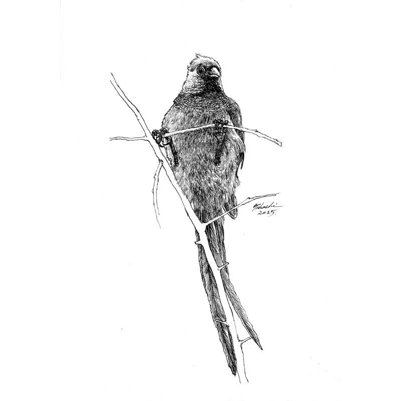 シロガシラネズミドリ