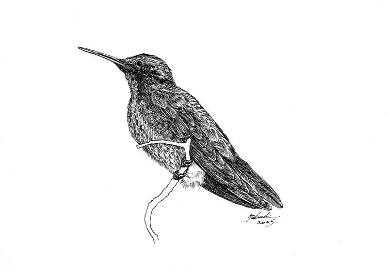 アオミミハチドリ