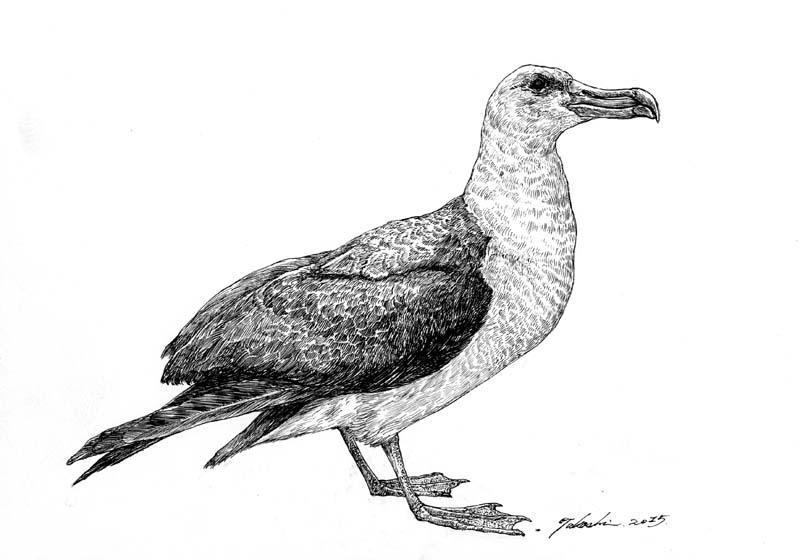 コアホウドリ